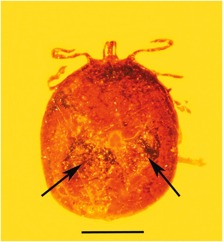 Obrázek: Klíšťata budou vyprávět historii: Vědci díky nim nalezli nejstarší krevní buňky savců