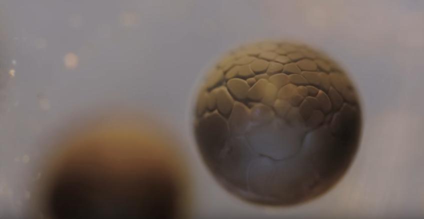 Obrázek: Jak vzniká život? Fascinující dělení od jedné buňky po miliardy zachyceno kamerou