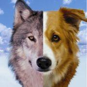 Obrázek: Psi a vlci mají vrozený cit pro spravedlnost, lidé to v nich naopak potlačují