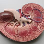 Obrázek: Je libo ledvinu či nové ucho? Proměnu lékařství a medicíny slibuje 3D biotisk