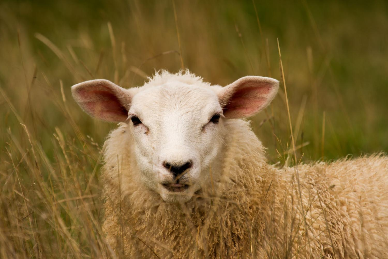 """Obrázek: Sousloví """"slepá ovce"""" ztrácí na významu. Ovce totiž ukázaly schopnost rozpoznat známé lidské tváře"""