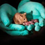 Obrázek: Dvě matky spolu mohou mít dítě: Vědcům se to povedlo u myší