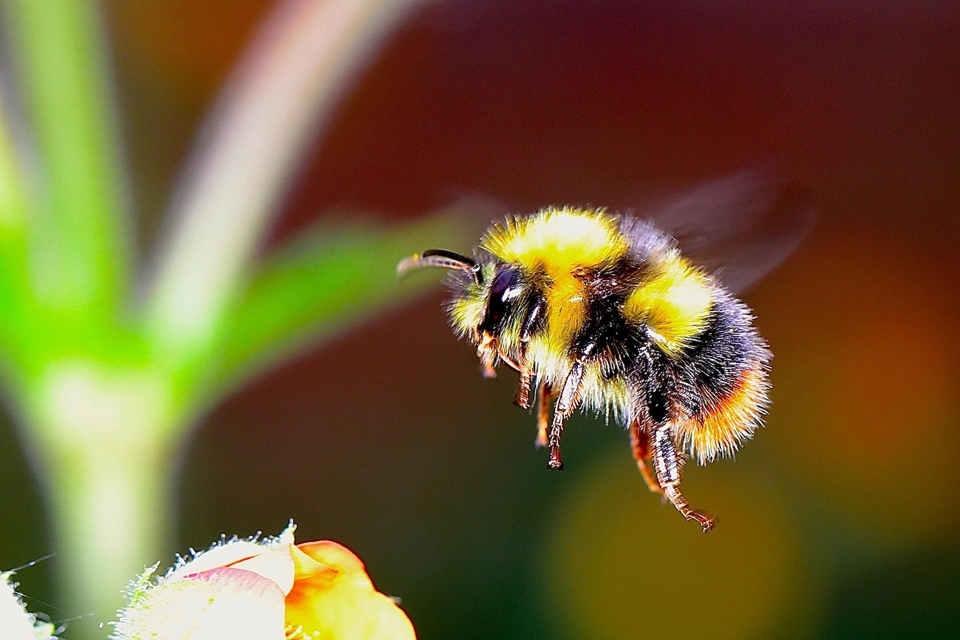 Obrázek: Včely jako pomocnice zemědělců? Pomocí batůžků s miniaturními snímači mohou monitorovat stav úrody