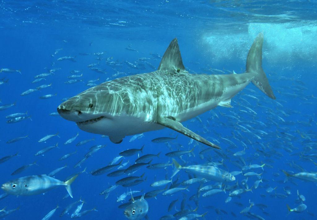 Obrázek: Žraločí DNA se regeneruje, pomůže léčit rakovinu a zpomalit má i nástup stařeckých nemocí
