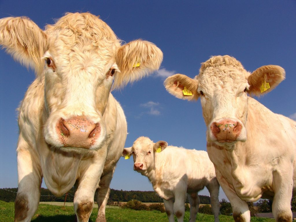 Obrázek: Britské krávy už jsou připojeny na 5G síť, předstihly většinu lidstva