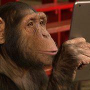 Obrázek: Šimpanzi dokáží ovládat dotykové telefony: Na videu si prohlíží Instagram podobně jako lidé