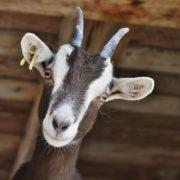 Obrázek: Jak vypnout vkaranténě: Sleduje hravá kůzlátka na farmě